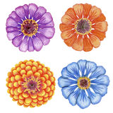 Hand-drawn zinnia flowers. Four penciled bright zinnia flowers Stock Images