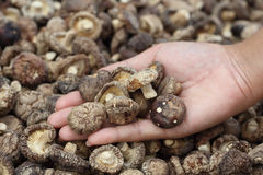 Hand with Dried Shiitake Mushrooms Royalty Free Stock Photo