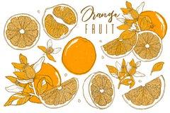 Hand drog illustrationer av härliga orange frukter Matbeståndsdelsamling Tappningscetch Teckningar av helt, halvan och skivat r Arkivfoton