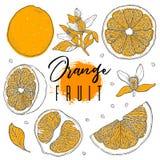 Hand drog illustrationer av härliga orange frukter Matbeståndsdelsamling Tappningscetch Teckningar av helt, halvan och skivat r Fotografering för Bildbyråer