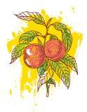 Hand drog persikor Arkivfoton
