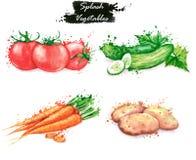 Hand-drog vattenfärgmatillustrationer Isolerade teckningar av de nya grönsakerna - röda tomater, gurkor, morot och potatisar Fotografering för Bildbyråer
