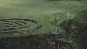 Hand drops coin into pond, water circle in slow motion. Trees reflection. Hand drops coin into green pond, water circle in slow motion. Trees reflection stock video footage