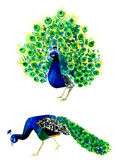 Hand drown watercolor peacocks isolated on white background stock illustration
