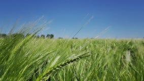 Hand durch Getreidefeld stock video footage