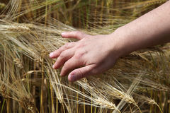 Hand on the ears wheat. Stock Image