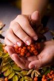 Hand einer Frau, die einen Zweig der Eberesche hält lizenzfreies stockfoto