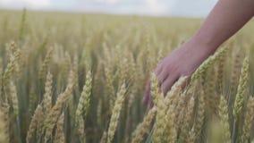 Hand einer Mädchennahaufnahme, die durch ein Feld des Weizens überschreitet Ein Mädchen in einem weißen Kleid geht bei dem Sonnen stock footage