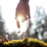 Hand eines Mannes über der blauen Blume hintergrundbeleuchtet durch die Sonne Stockfoto