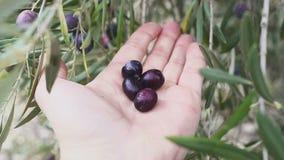 Hand eines Mannes berührt etwas olivgrüne Frucht befestigte den Baum stock video
