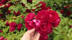 Hand eines Mannes, der schöne rote Rosen im Garten hält stock footage