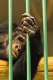 Hand eines Schimpanseaffen, der Stange seines Käfigs hält Lizenzfreies Stockfoto