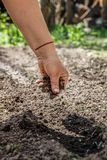The hand of an elderly woman pours the earth on sowing. The concept of gardening, life on earth, style.  stock photo
