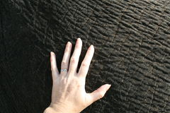 The hand and the elephant Royalty Free Stock Photo