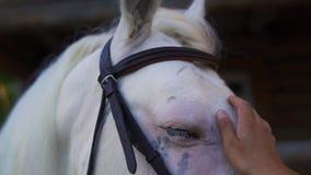 Hand för kvinna` som s slår den vita hästen stock video