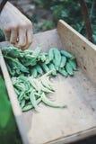 Hand för man` som s skördar gröna ärtor royaltyfri foto