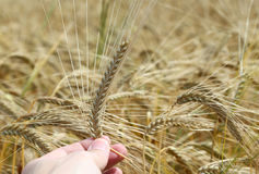 hand of the farmer holds mature yellow ear of wheat Stock Images