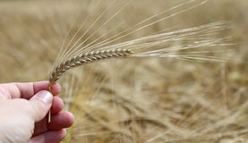 hand of the farmer holds mature yellow ear of wheat Stock Image