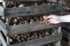 Hand farmer pulls out a potato from a wooden box. Agro-industrial complex, agriculture. Food stocks, preservation. And sale of the harvest. Traditional stock photos