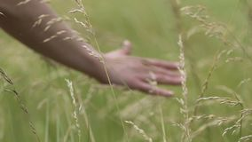 Hand of farmer touches crops in autumn fall, close-up of farm worker checking