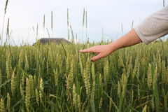 Hand of a farmer touching ripening wheat ears in early summer. Farmer hand in Wheat field. Stock Images