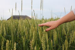 Hand of a farmer touching ripening wheat ears in early summer. Farmer hand in Wheat field. Stock Photos