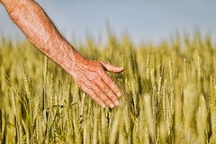 Hand of a farmer touching ripening wheat ears in early summer. Stock Photos