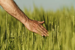 Hand of a farmer touching ripening wheat ears in early summer. Royalty Free Stock Image
