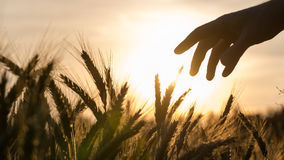 Hand of a farmer touching wheat field Stock Photo