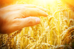 Hand of a farmer touching wheat in sunlight. Hand of a farmer touching wheat in warm light Royalty Free Stock Image