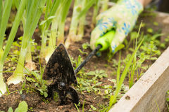 Hand Of Farmer Weeding Tool Hoe Grass In Vegetable Garden. Royalty Free Stock Images