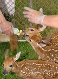 Hand Fed Baby Deers Arkivbilder