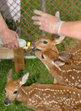 Hand Fed Baby Deers. Bottle hand fed fawns in captivity stock images