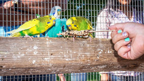 Hand Fed Parakeets Royalty Free Stock Photo