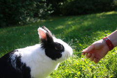 Hand fed rabbits Royalty Free Stock Photography