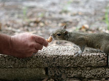 Hand Fed Squirrel Royalty Free Stock Photos