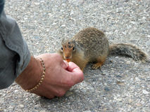 Hand feed. A wild squirrel being fed a nut by a tourist Stock Photos