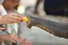 Hand feed banana elephant Royalty Free Stock Photo