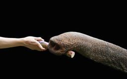 Hand feed to elephant Royalty Free Stock Photography