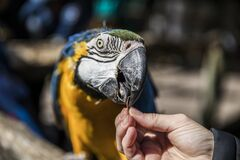 Free Hand Feeding A Macaw Royalty Free Stock Photography - 181190687