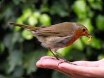 Hand Feeding A Robin Redbreast Stock Images