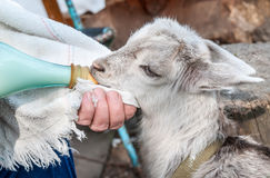 Hand feeding a baby goat with a milk bottle Stock Photography