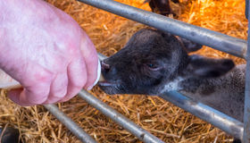 Hand feeding baby lambs. Who lost their mothers with bottled milk Royalty Free Stock Images