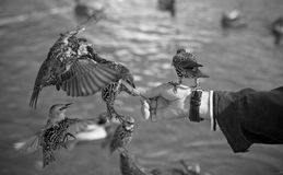 Hand feeding birds Royalty Free Stock Image