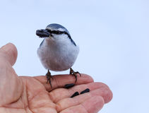 Hand feeding a black-capped chickadee sunflower seeds Royalty Free Stock Photography