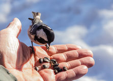 Hand feeding a black-capped chickadee sunflower seeds Royalty Free Stock Images