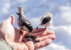 Hand feeding a black-capped chickadee sunflower seeds Royalty Free Stock Image