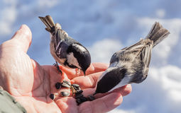 Hand feeding a black-capped chickadee sunflower seeds Stock Photo