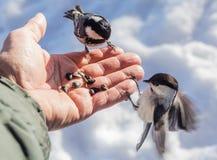 Hand feeding a black-capped chickadee sunflower seeds Royalty Free Stock Photos