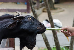 Hand feeding black goat Stock Photography